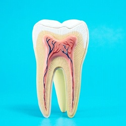 anatomy of a tooth on blue background